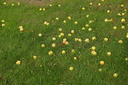 Lots of fallen apples on green grass