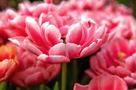 Famous peony tulip columbus, glowing reddish pink and has decorative white edge Stock Photo