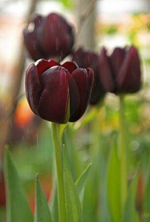Tulip Cafe Noir with elegant, deep maroon flowers. Blue base to petals is revealed as flower mature and open up Stock Photo