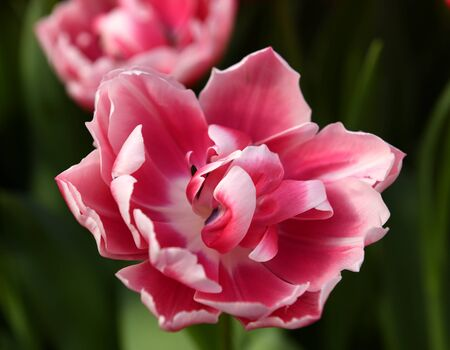 Delightful peony tulip columbus, glowing reddish pink and has decorative white edge Stock Photo