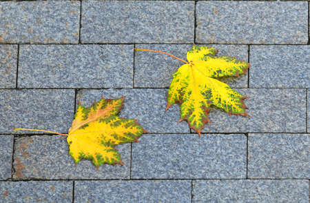 Autumn landscape. Yellow maple leaves on paving slabs
