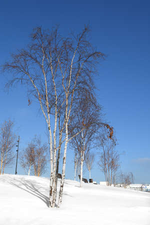 Winter landscape. Birches in snow-covered park in Moscow. Russia