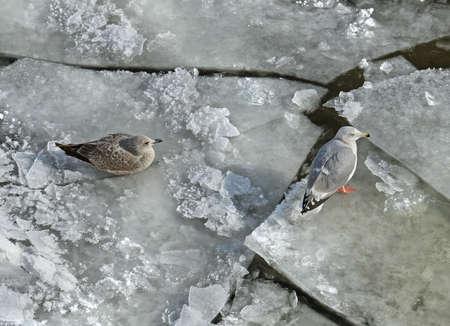 European herring gull (Larus argentatus) on ice of Moskva River. Moscow, Russia Banco de Imagens