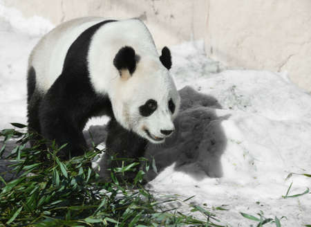 Giant panda (Ailuropoda melanoleuca), also known as panda bear or simply panda, goes to eat bamboo