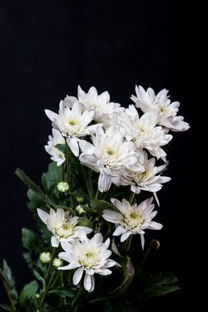 white chrysanthemum isolated on black background photo