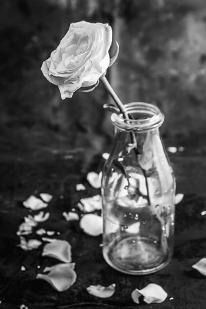 roses and blood: White rose in bottle on black background