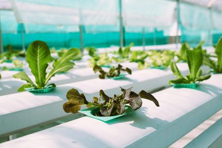 chinese garden: Green Vegetable hydroponics farm. Stock Photo