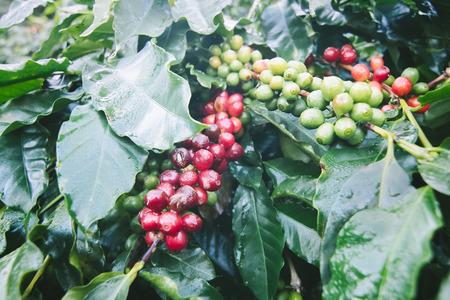 arbol de cafe: Cafeto con las bayas maduras en la granja Foto de archivo