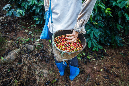 coffee harvest: Coffee farmer picking ripe cherry beans.