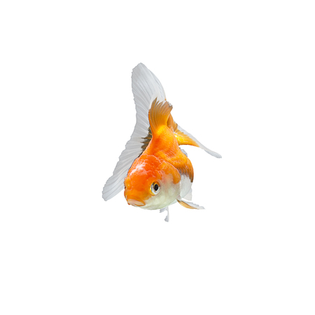 fish isolated: Gold fish isolated on a white background.