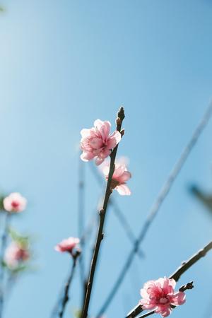 prunus: Himalayan Cherry Prunus cerasoides blooming