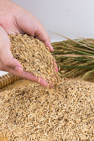 cereals holding hands: Hand holding golden paddy seeds,shallow Depth of Field,Focus on hand.