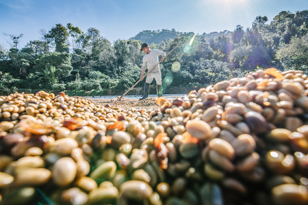 CHIANG RAI, THAILAND - Nov 18: Man from Thailand drying coffee beans on November 18 , 2015 on a coffee factory at Doi Chang , Chiang Rai, Thailand. 新聞圖片