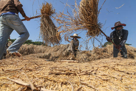 third world: CHIANG RAI, THAILAND - December 14, 2016:  : unidentified Thai farmer threshing by beating rice to separate seed from the trunks on the ground. Editorial