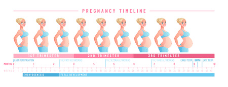 Pregnant woman with growing belly by months. Pregnancy timeline by weeks. Vector illustration isolated on white background EPS10.