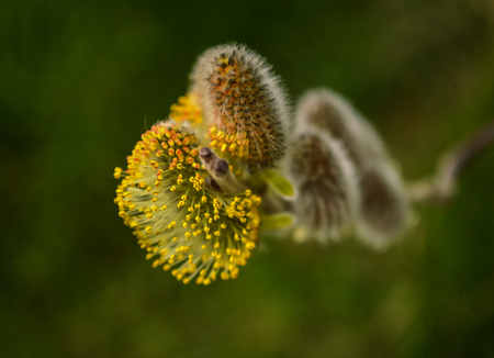 Yellow willow flowers on the branch in spring forest. Stock Photo