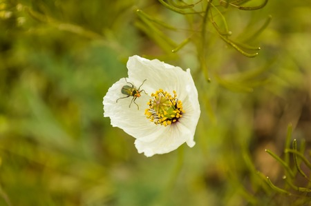 details of Iceland Poppy,Papaver nudicaule. white mountain wild poppy Banque d'images - 94592430
