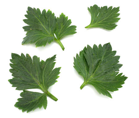 celery leaf isolated on white background. Celery isolated on white. Healthy food Stok Fotoğraf