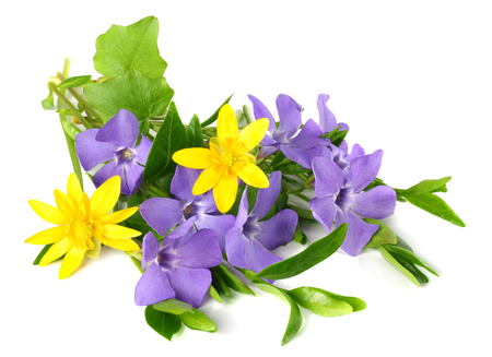 Bouquet of blue periwinkle with green leaves isolated on white background. Vinca minor