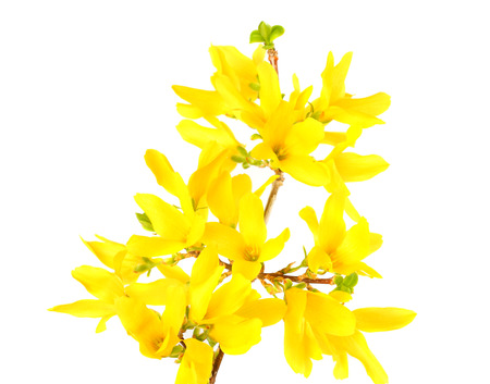 Forsythia Oleaceae flowers blossoms isolated on white background