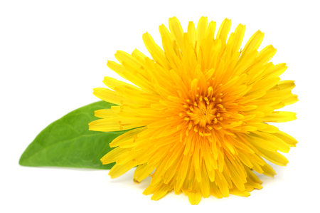 yellow flower with green leaf isolated on white background