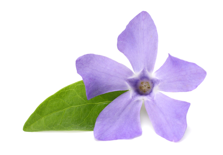one blue periwinkle with green leaves isolated on white background. Vinca minor