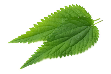 nettle leaf isolated on white background. top view. medical herbs.