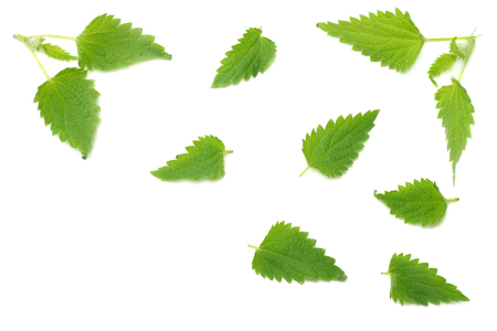 nettle leaves isolated on white background. top view. medical herbs.