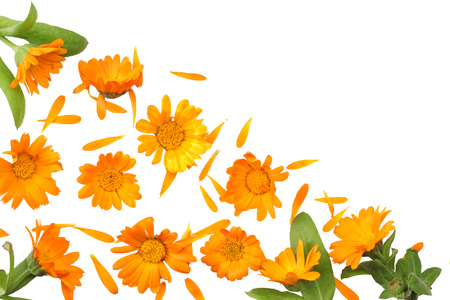 marigold flowers with green leaf isolated on white background ( calendula flower ) top view Imagens - 111702596