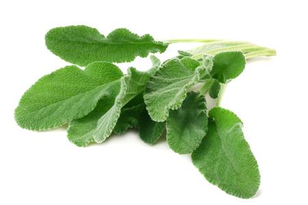 sage leaves isolated on white background. green leaves Zdjęcie Seryjne