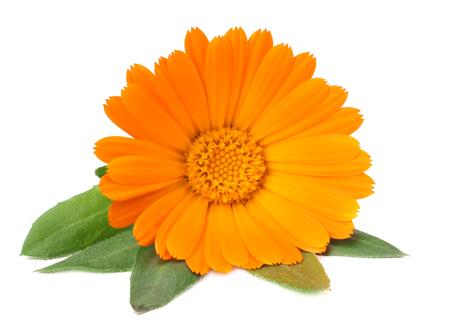 Ringelblumen mit grünem Blatt auf weißem Hintergrund. Ringelblume Blume.