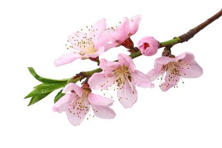 Pfirsichblüten isoliert auf weißem Hintergrund. Ansicht von oben