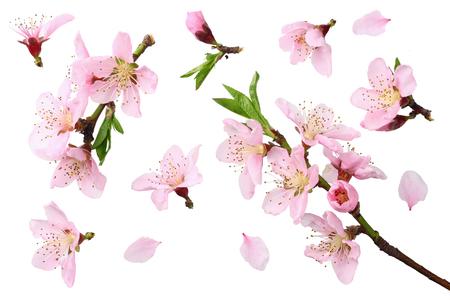 flores de durazno aisladas sobre fondo blanco. vista superior