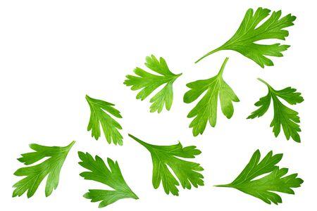 grüne frische Petersilienblätter isoliert auf weißem Hintergrund Draufsicht Standard-Bild