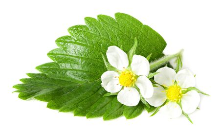 strawberry green leaf with flowers isolated on white background