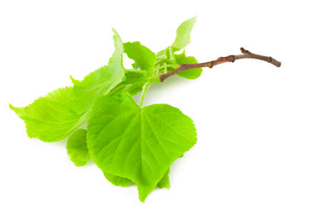 Linden leaves isolated on a white background