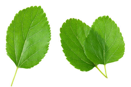 Mulberry leaves isolated on white background. top view