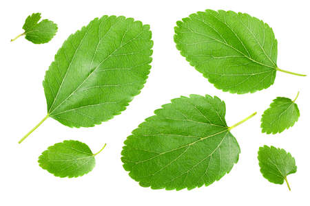 Mulberry leaves isolated on white background. top view Standard-Bild - 151529440
