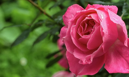 Beautiful pink rose with water drops after rain on green background photo