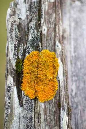 Orange Moss on a old timber photo