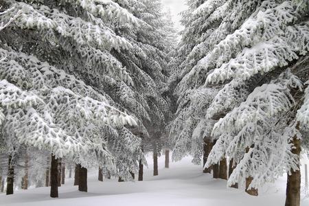 ponderosa pine winter: Sunny winter landscape after a blizzard