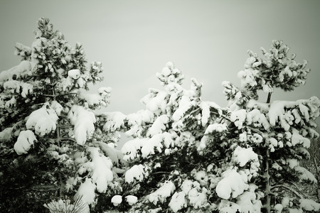 Bare trees in snow at winter photo