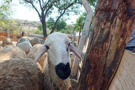sacrifices: Sacrificial sheep for festival of sacrifices in muslim countries