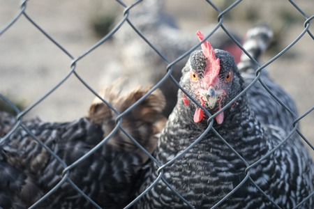 cackle: Chicken behind the fence Stock Photo