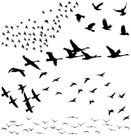pajaros volando: Silueta de una bandada de p�jaros
