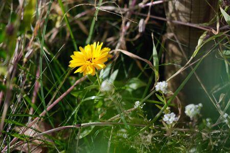 Yellow autumn wild flower in the meadow horizontal photo Standard-Bild