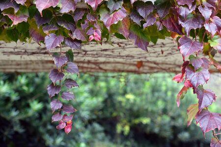 Climbing plants on the wall, soft focus, close up horizontal photograph of a park area Standard-Bild