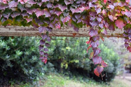 Climbing plants on the wall, soft focus, close up horizontal photograph of a park