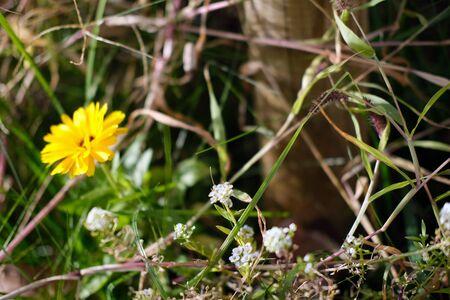 Horizontal photo of a yellow field flower and green grass autumn season Standard-Bild