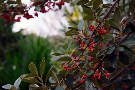 Wild red berries on a tree. Horizontal photo. Close up